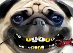Лечить животных: Проблемы с зубами у Мопса